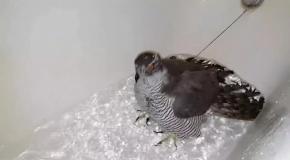 Ястреб-тетеревятник Сильва купается в ванной под наблюдением кота