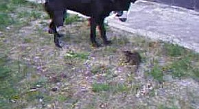 Собаки гонят крысу