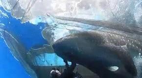Освобождение китовой акулы