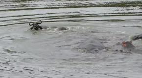 Гиппопотамы спасли антилопу от крокодилов