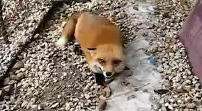 Радость лисы