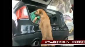 Преданная собака, пошла в полицию за хозяином вором.