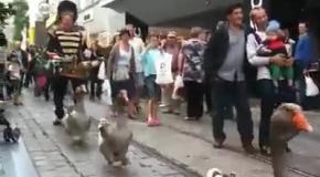 Парад гусей в Бельгии