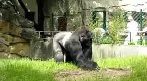 Злобная горилла