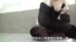 Панда впервые видит своего малыша