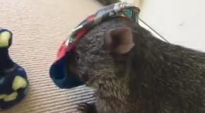 Домашний вомбат из Австралии