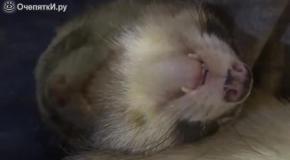 Как спят хорьки
