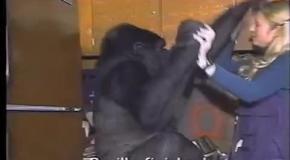 Умерла разговаривавшая на языке жестов горилла