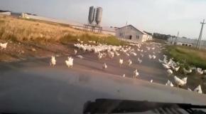 На Донбассе после обстрела птицефабрики разбежались сотни кур
