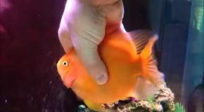 Самая общительная рыбка в мире