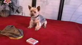 Собака с хозяином показывает карточный фокус  )