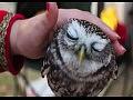 Любвеобильные совы