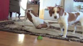 Собака учит щенка играть с лаймом