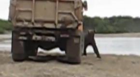 Медведь ворует рыбу с грузовика