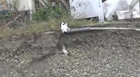 Кото-мама спасает своего котенка из ямы
