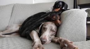 Собачья иерархия