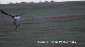 Схватка орлана и лисы за добычу