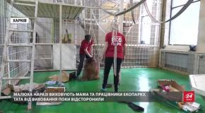 Дитинча орангутанга вперше народилося в Україні: милі фото