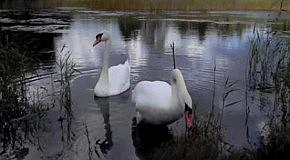 Лебедь-шипун на Беберлини