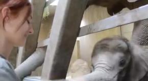 Слоненок радуется и играет с человеком