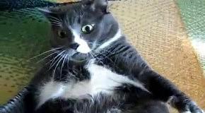 Толстый кот злится