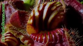 Бромелия - плотоядное растение хищник