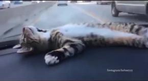 Котейка релаксирует в машине