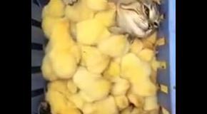 Цыплячье одеяло