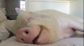 Счастливая свинская жизнь