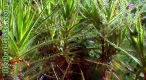 Роридула - растение хищник на насекомых