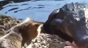Кот гоняет крокодила