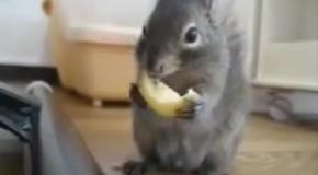 Белка кушает лимон