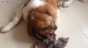 Смелый котёнок против сенбернара