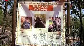 Влюбленные гориллы