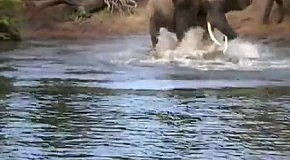 Крокодил схватил слона за хобот