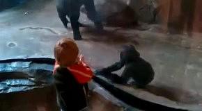Мама-горилла умней мамы-человека
