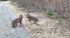 Две рыси в Онтарио выясняют отношения