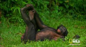 Wild Wives of Africa -Bonobo Love (братья обезьянки)