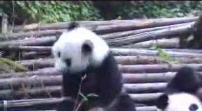 Еще один чихающий малыш панды.