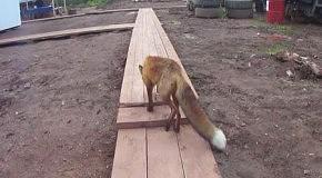 Лисичка на стройке
