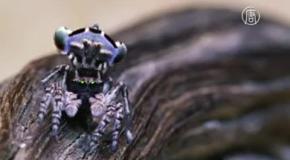 Семь новых видов пауков-скакунов найдено в Австралии
