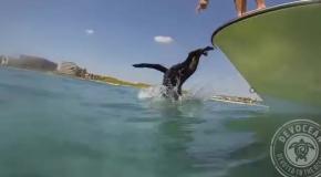 Собака охотится под водой