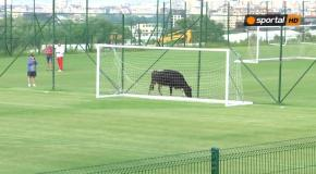 Футбольный матч в Болгарии был прерван из-за вышедшей на поле коровы
