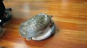 Черепаха на пылесосе