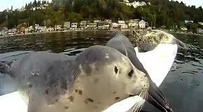 Маленькие тюлени пытаются взобраться на доску для серфинга
