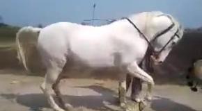 Когда лошадь танцует...