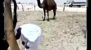 Верблюд обосрал наездника