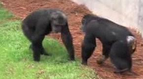 Освобождение приматов