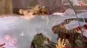 Мёртвых свиней нарядили в партизан