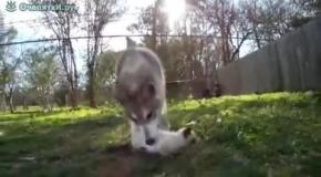 Волк усыновил котенка